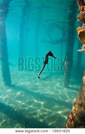 A Seahorse Under A Wharf In Honduras