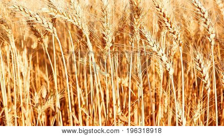 A Field Of Ripe Wheat In A Sunny Day. Ear Of Wheat.