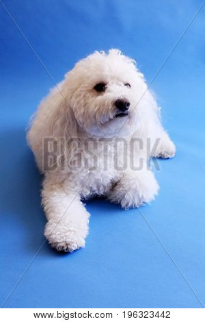 Multi-Poo Dog. A beautiful Multi-Poo aka Maltese - Poodle mix breed dog poses on a blue background. Dogs are Mans Best Friends.