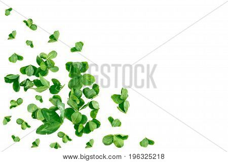 Green clover leaves on white background. St.Patrick 's Day