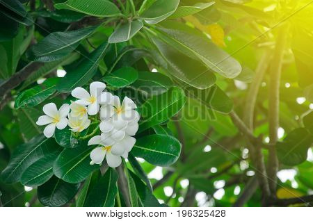 frangipani (Plumeria) on the plumeria treefrangipani tropical flowers.White frangipani on the frangipani tree with sunset.Vintage Tone