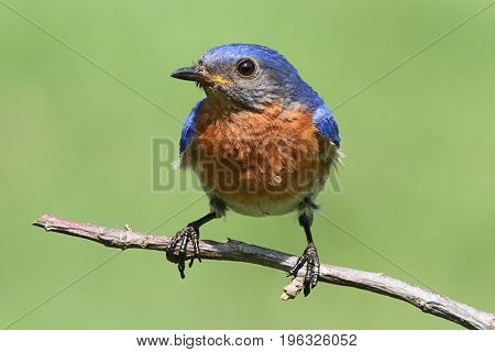Male Eastern Bluebird (Sialia sialis) on a branch with a green background