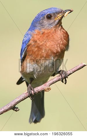 Male Eastern Bluebird (Sialia sialis) on a branch with a worm and a light background