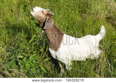 Brown and white domestic goats outdoor on the green grass.