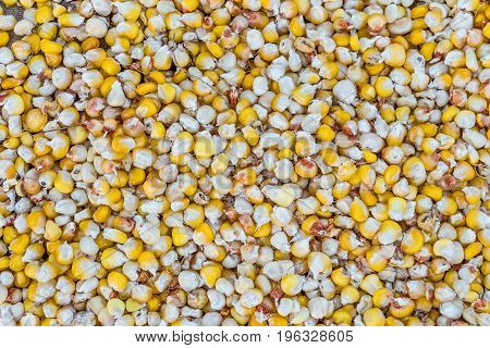 Dried grains of corn crop. Agricultural background.