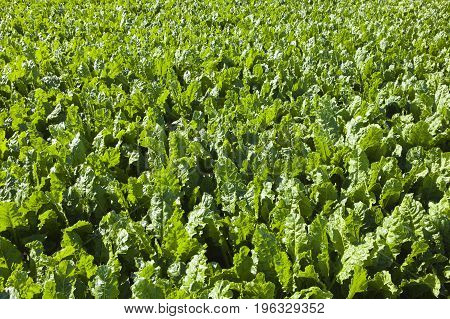 background image of green foliage of a sugar beet crop in summer