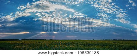 Dramatic Sunset Over A Sunflowers Fields.