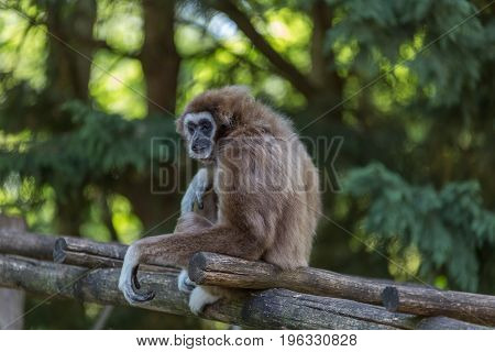 Endangered, cute, agile furry wild primate, Gibon sitting on a lader looking around.