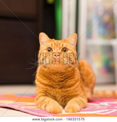 Red-haired adult cat lies on a colored carpet and with a smile looks up the carpet