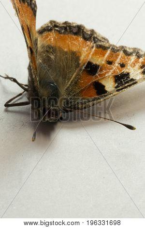 Small Tortoiseshell Butterfly on white Aglais urticae macro.