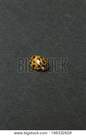 Ladybug isolated on dark black background - macro.