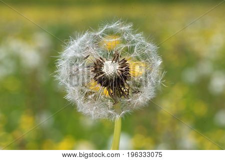 Dandelion Blowball With Seeds, Blurry Background