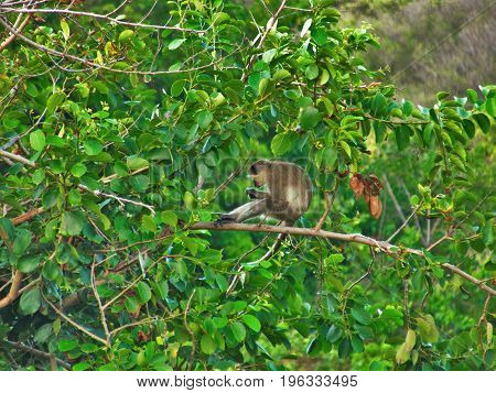 Green Vervet Monkey hanging out in tree