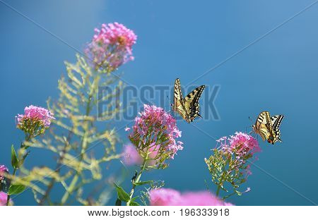Papilio Machaon Collecting Nectar On Host Plant
