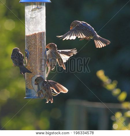 Group of sparrows eating seeds from garden bird feeder on a sunny morning
