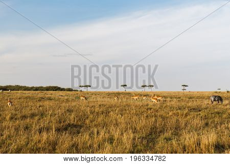animal, nature and wildlife concept - impala or antelopes female herd grazing in maasai mara national reserve savannah at africa