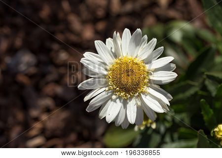 Closeup of a beautiful yellow and white Marguerite, Daisy flower.
