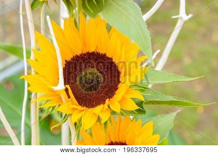 Macro close up of beautiful yellow sunflowers in a countryside field.