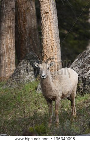 a big horn sheep stands in the woods looking at the camera