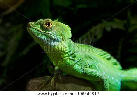 Green Iguana Reptile Portrait Close Up - dark background