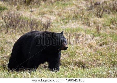 a large black bear advances through a meadow