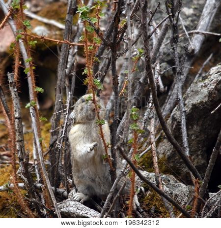 a pika stands in a bush leaning on a branch