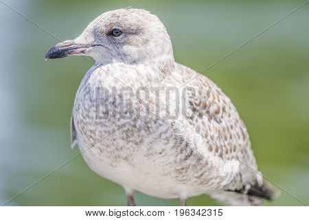 Closeup Of Brown And White Seagull Perched Near Waters Edge
