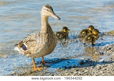 Female mallard duck with three ducklings in the water