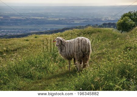 Close-up of sheep, fields, forests and hills near the town of Frascati, a pleasant and well-known place for its fine wines, near Rome. Located in the Lazio region, central Italy