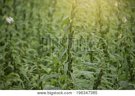 sesame plant in farmland sesame flowers with young growth seed herb organic