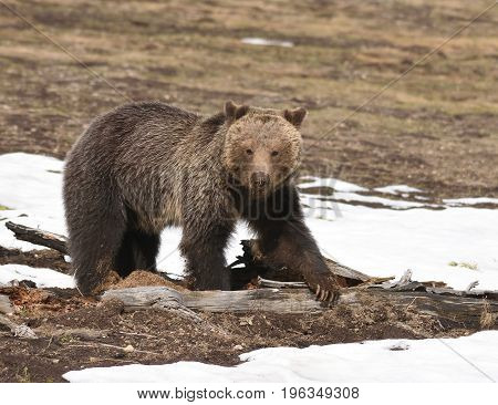 a grizzly bear looks toward the camera. It's claws show on the log it has scratched.
