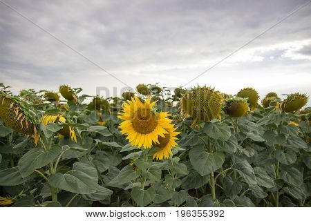 Flowering sunflowers in the field, at sunset.