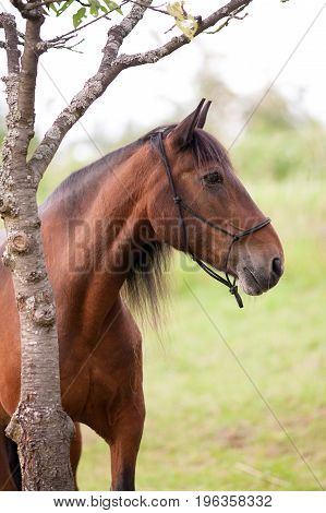 Beautiful andalusian Horse portrait on pasture outside