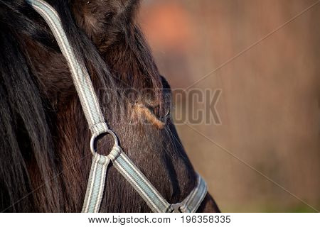 thoroughbred Horse eye close up face portrait