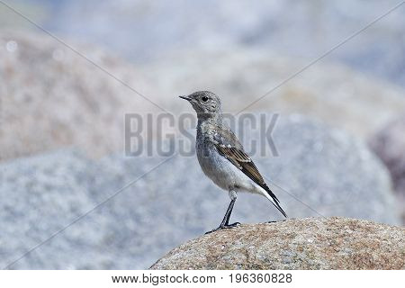 Juvenile Northern wheatear standing on a rock in its habitat