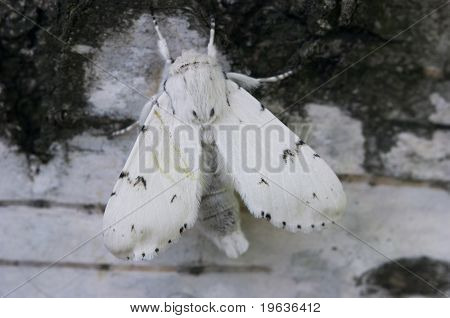 Closeup of white butterfly imitate white bark of birch poster