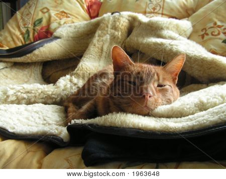 Marmalade Tabby On Sheepskin Jacket