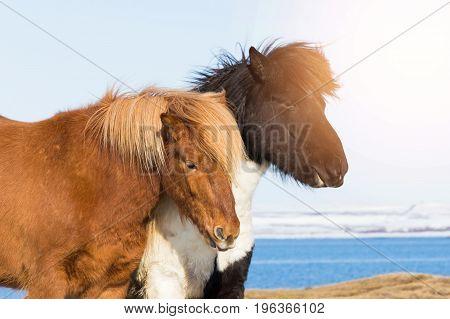 Icelandic pony Iceland horses firm animal wildlife animal