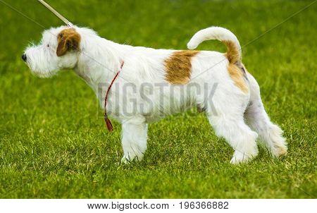 Jack Russell Terrier. Jack Russell Terrier playing outside smiles