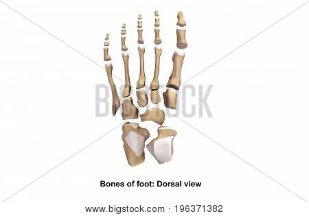 The human foot is a very complex and highly developed structure. The bones of the foot provide mechanical support for the soft tissues, helping the foot withstand the weight of the body.