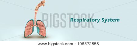The human respiratory system is a series of organs responsible for taking in oxygen and expelling carbon dioxide. The primary organs of the respiratory system are lungs, which carry out this exchange of gases as we breathe.