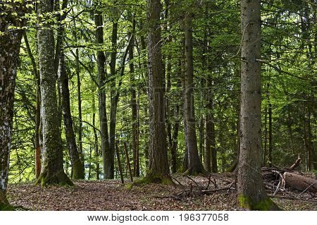 Mixed coniferous forest in spring Les Avants Vaud Switzerland