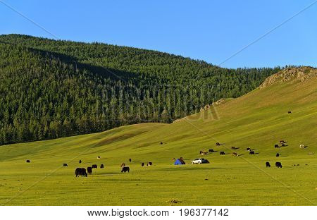 Landscape with yaks steppe and forest in the Orkhon Valley Mongolia