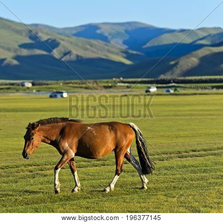 Brown horse in the Mongolian steppe Orkhon Valley Mongolia