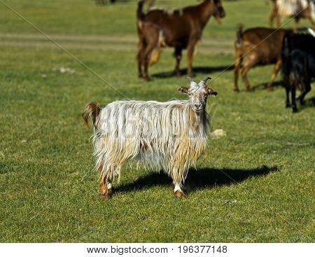 Cashmere goat Orkhon Valley Khangai Nuruu National Park Oevoerkhangai Aimag province Mongolia