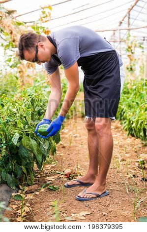Young Farmer Man Checking His Bell Peppers Plantation In The Greenhouse