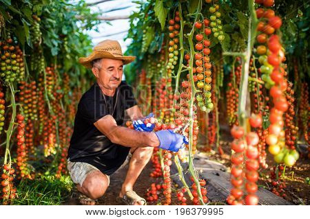 Mature Man In Greenhouse Holding Cherry Tomatoes Harvest At The Camera In Greenhouse