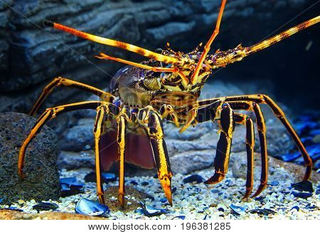 Colourful Tropical Rock lobster under water on background of beautiful underwater stones.