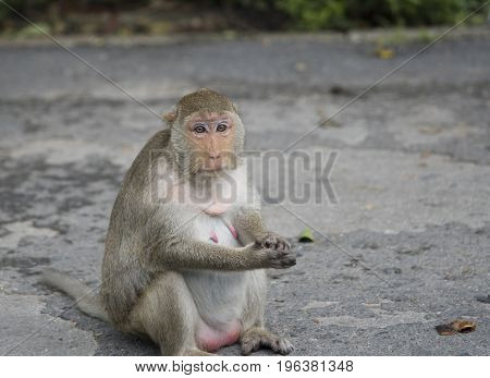 Shy female monkey sitting on the street. Thailand