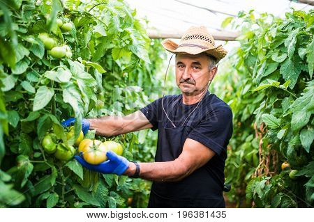 Portrait Of A Man At Work In Commercial Greenhouse Greenhouse Produce Food Production Tomato